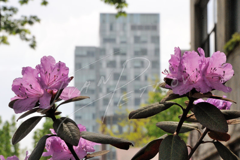#YOW73 - Social Sciences Building Rhododendrons #2 by Ivan Petrov