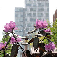 #YOW75 - Social Sciences Building Rhododendrons #4 by Ivan Petrov