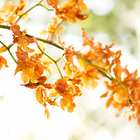 Orange Oncidium by Dawn Reilly