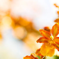 Orange Oncidium I by Dawn Reilly