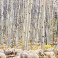 Counting Sheep by Dawn Reilly