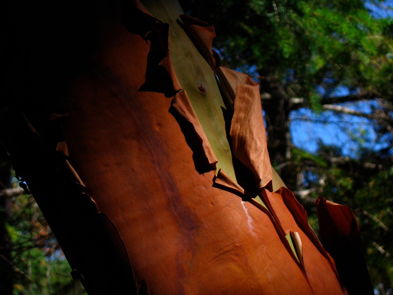 Peeling Arbutus Tree ....  Shawnigan Lake, BC by Dianne  Cuzner