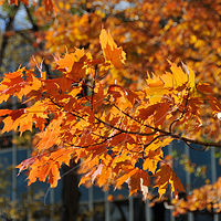 DSC_7502 - Autum Maples near MacDonald Hall by Ivan Petrov