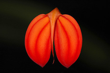 Masdevallia-ignea by Richard  Ashby