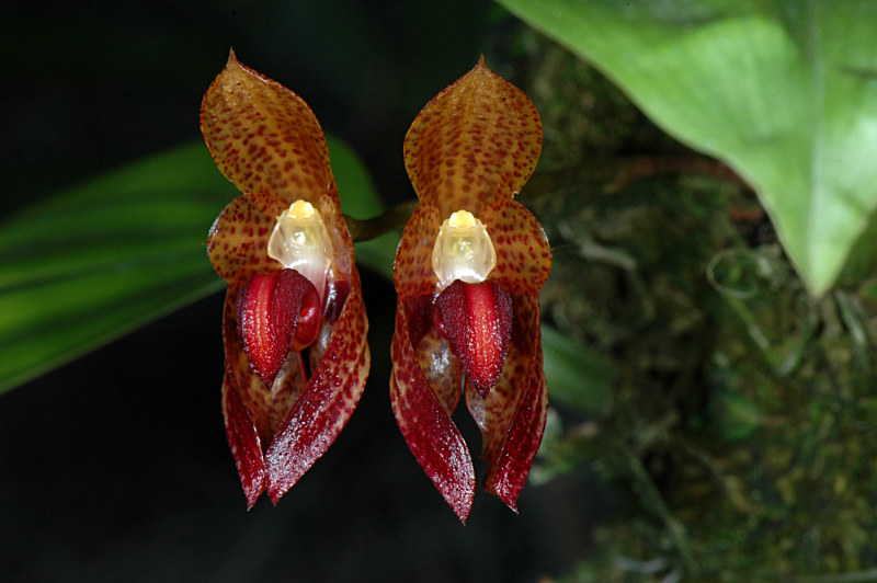 DSC_8477-Bulbophyllum-subumbellatum- by Richard  Ashby