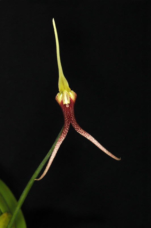 Masdevallia-don-quijote-DSC-8412 by Richard  Ashby