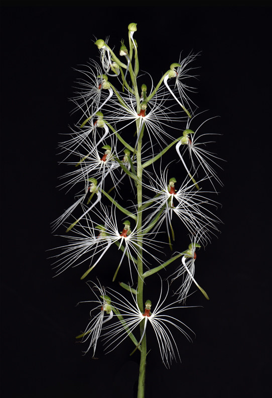Habenaria medusa-DRR_0464 by Richard  Ashby