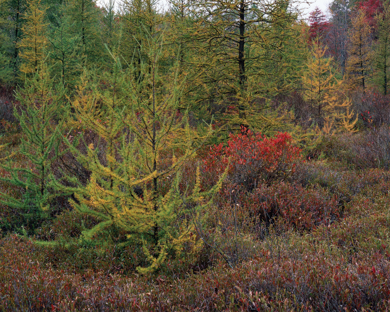 Tamarack Bog, Autumn by Wayne Mazorow