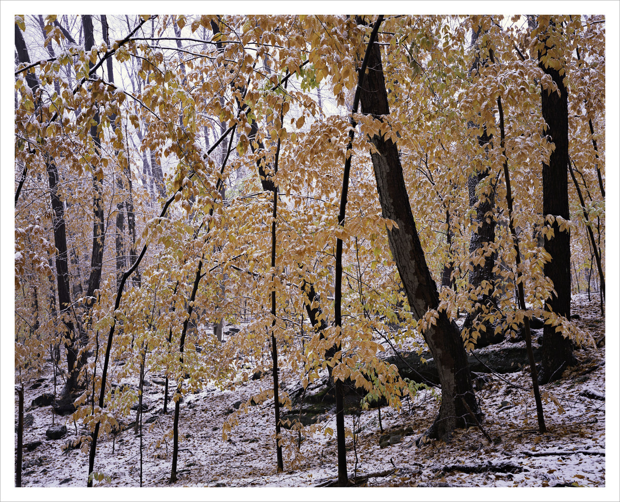 Beech Foliage, Early Snow by Wayne Mazorow