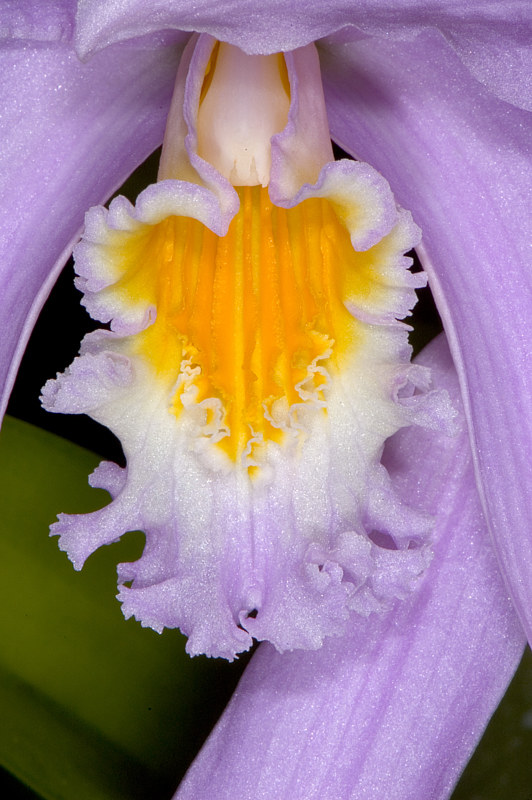 Laelia jongheana-DSC_2671 by Richard  Ashby