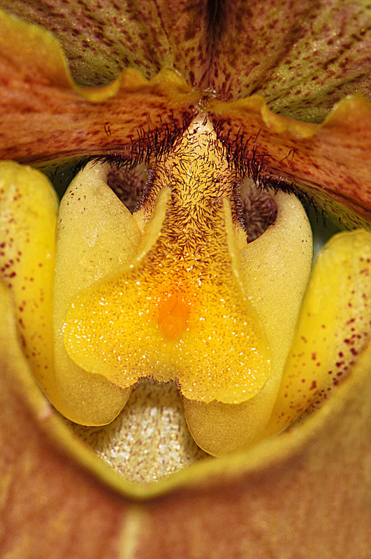Paphiopedilum Proud Heritage by Richard  Ashby