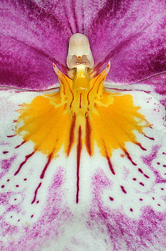 Miltonia by Richard  Ashby