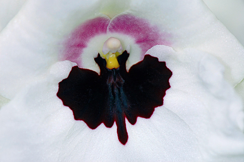 Miltonia Lillian Nakamoto'Tanto' by Richard  Ashby