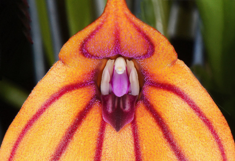 Masdevallia Pat Ankhurst by Richard  Ashby