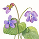 Watercolor Purple Violets, New Brunswick by Jane Crosby