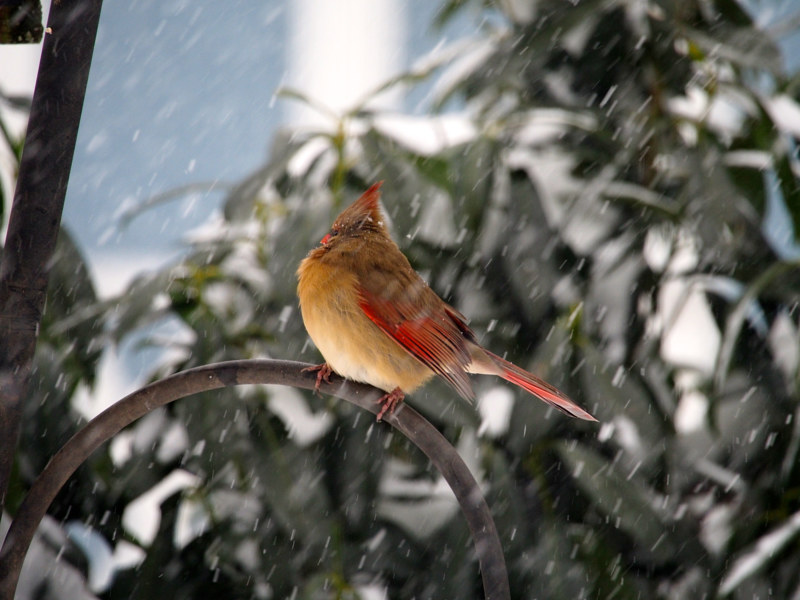 Cardinal in Winter by Ann Williams