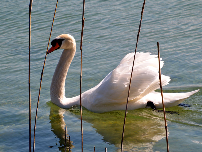 Photography Swan in The Reeds by Ann Williams