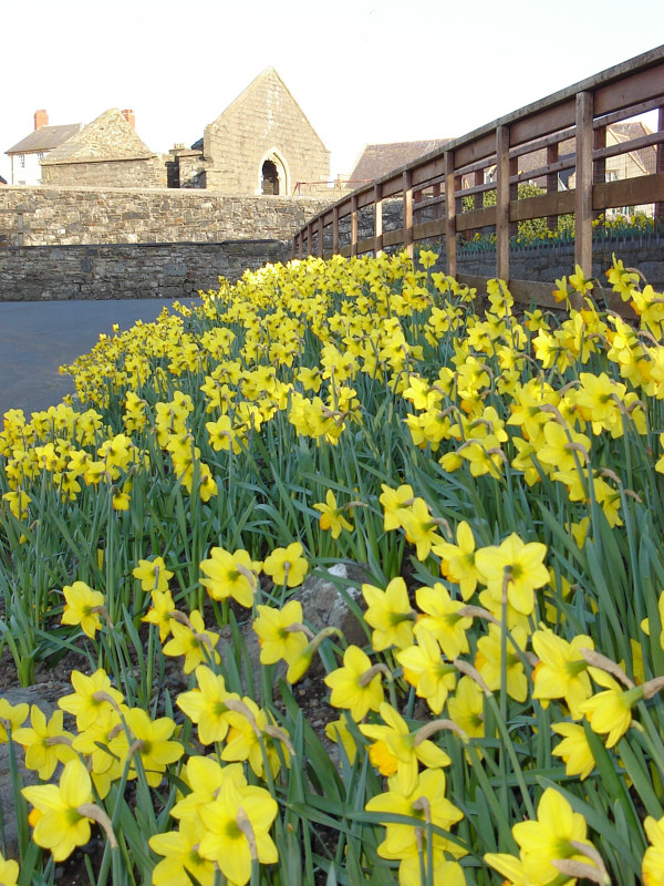 Welsh Daffodils Repaired by Ann Williams
