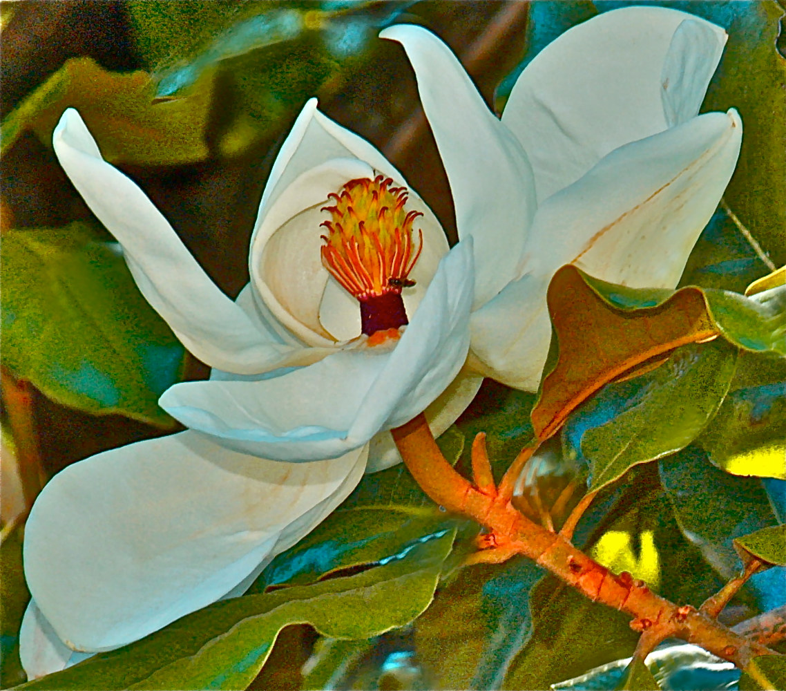 Magnolia by Joeann Edmonds-Matthew