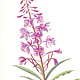 Watercolor Fireweed, Yukon Territory by Jane Crosby
