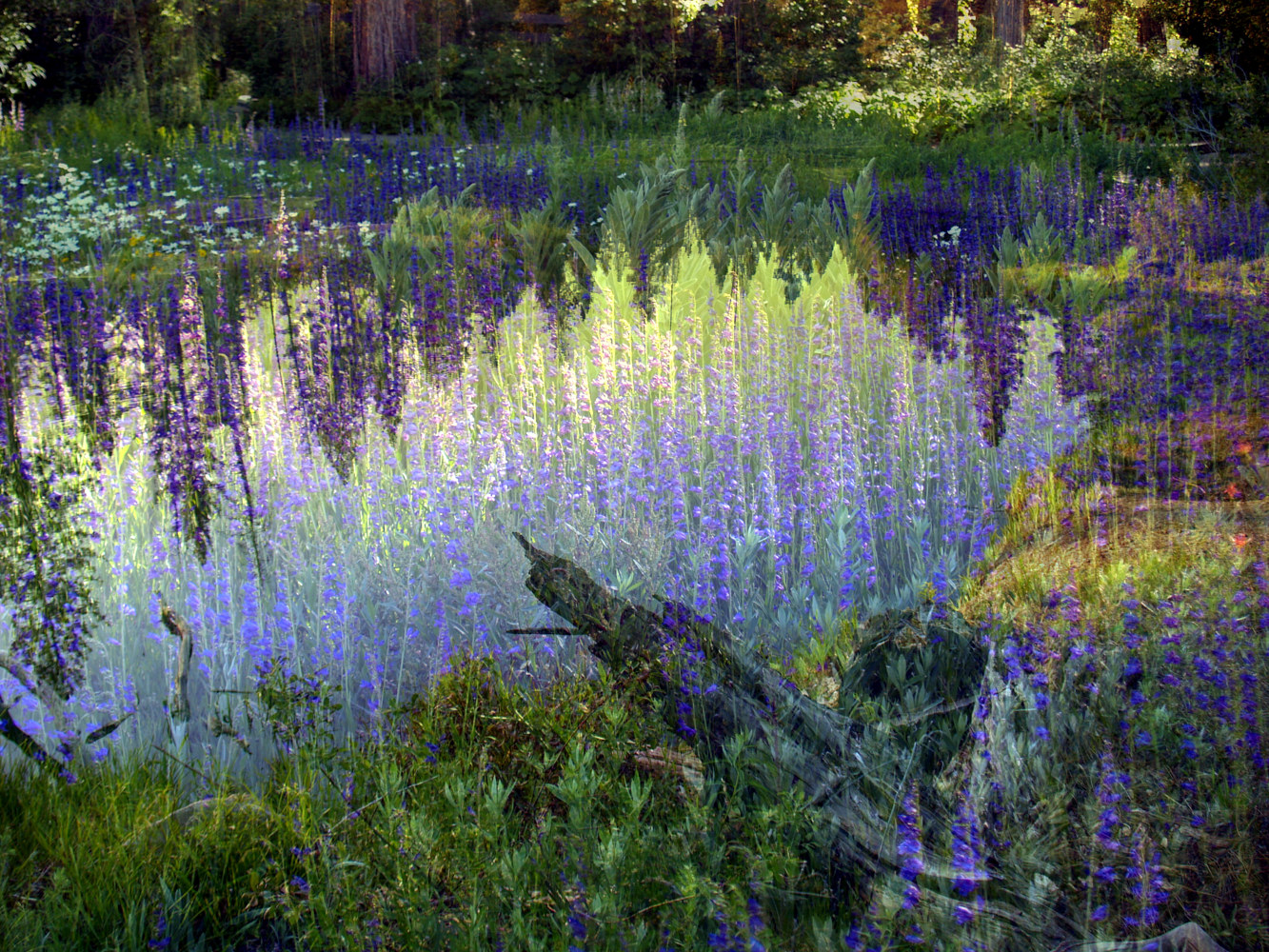 Print Lupine Pond  by Linda Richardi