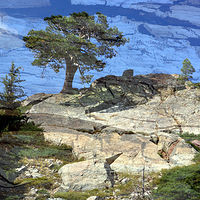 Print Lone Tree Little Bear Lake by Linda Richardi