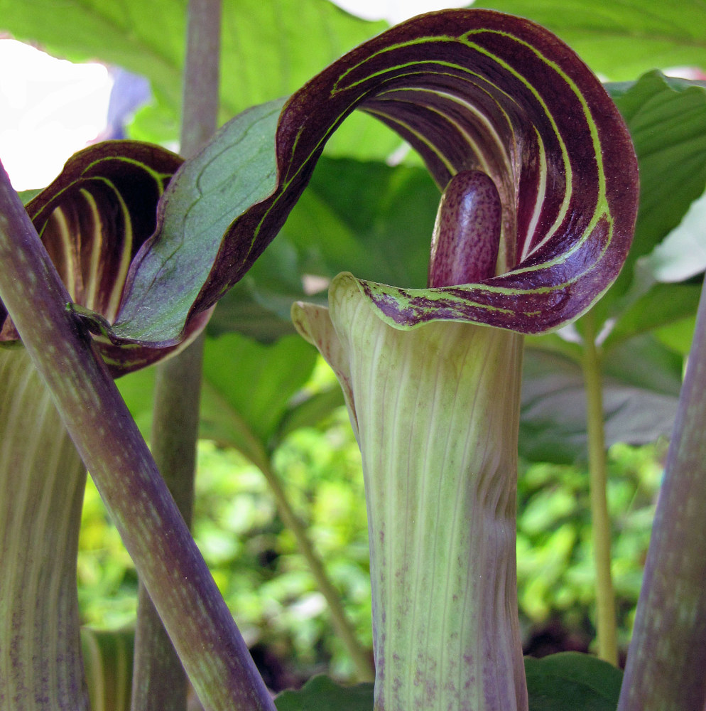 Photography Jack in the Pulpit by Amanda Dinse