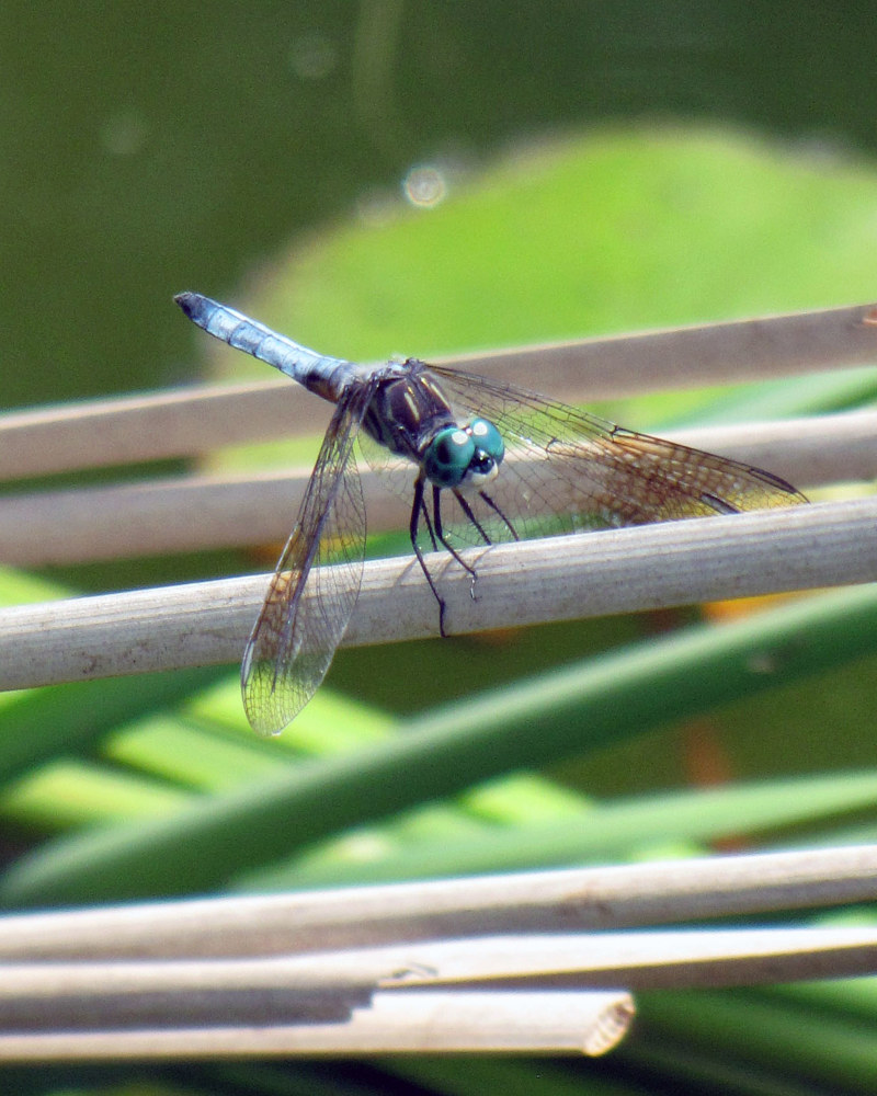 Photography Dragonfly by Amanda Dinse