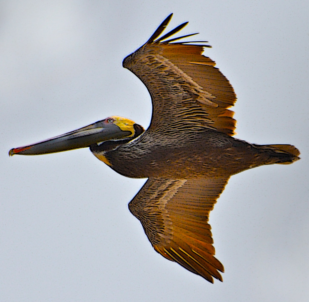 PELICAN IN FLIGHT by Joeann Edmonds-Matthew