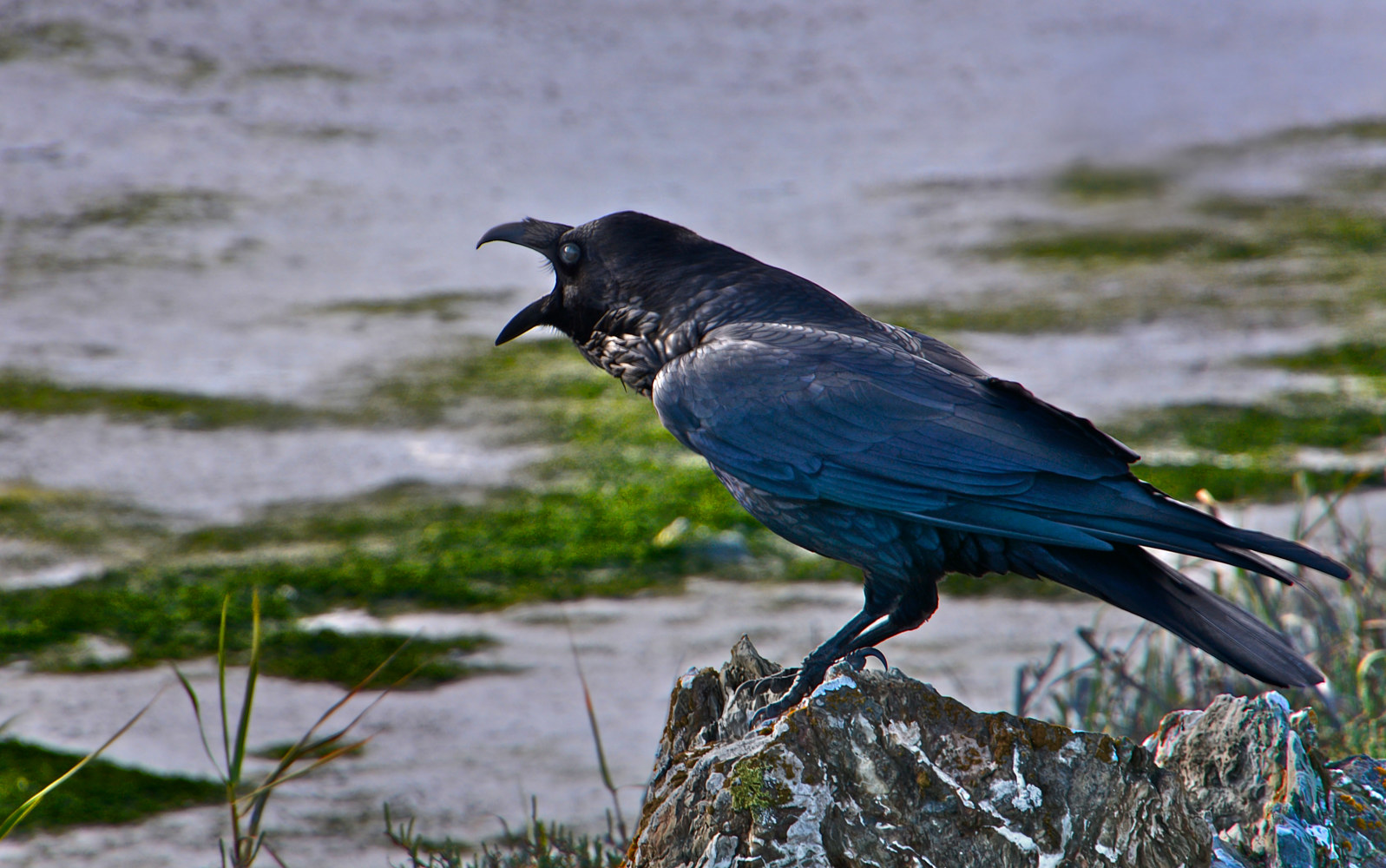 PROTESTING CROW by Joeann Edmonds-Matthew
