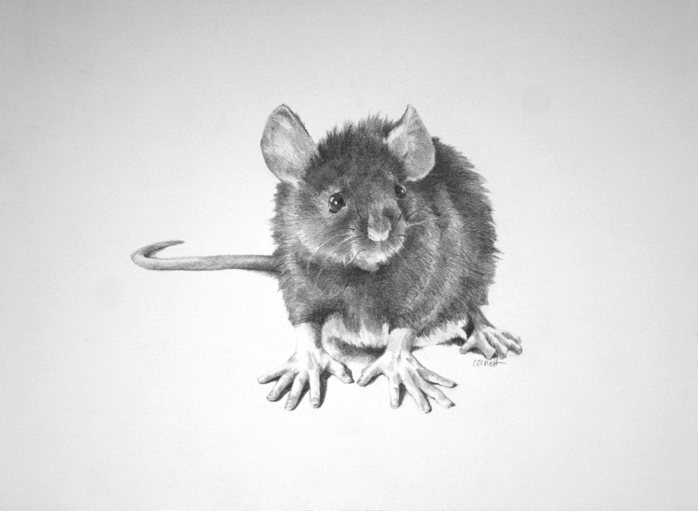 Drawing Miss Ratty by Ellen Cornett
