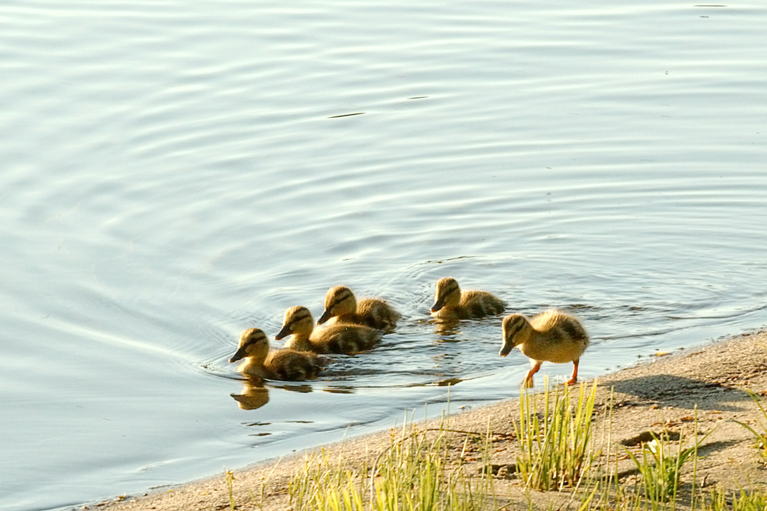 Duckling Parade by Marc Brisson