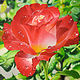 Acrylic painting WET ROSE by Arthur Carrillo