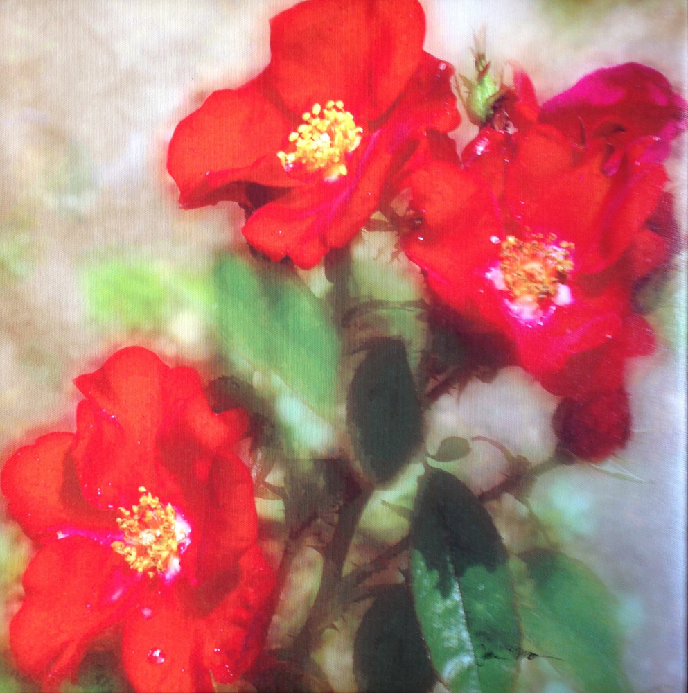 Photography Red roses  by Joan Morris