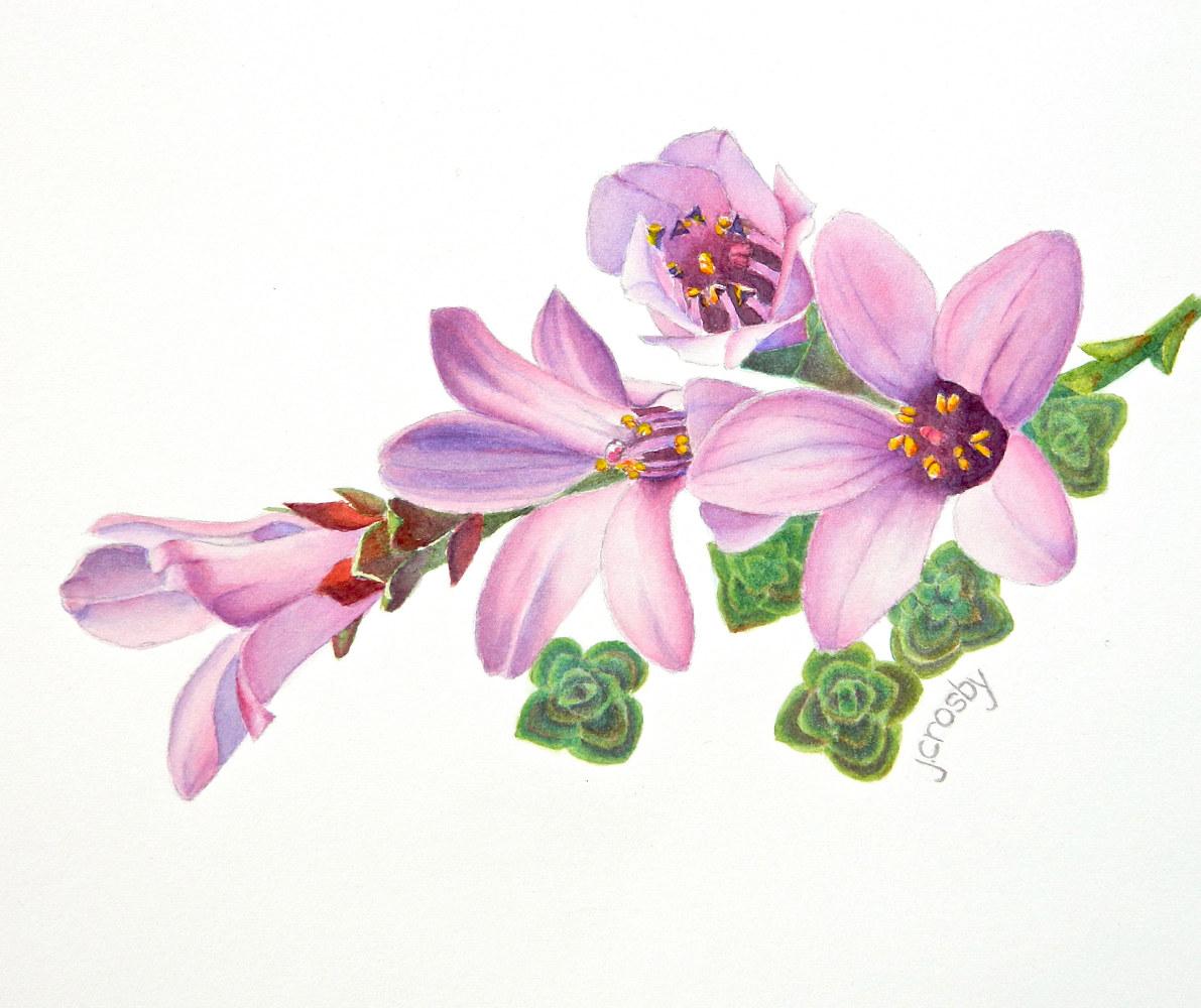 Purple Saxifrage, Nunavut Territory - Jane Crosby - Artist  Purple Saxifrage Drawing