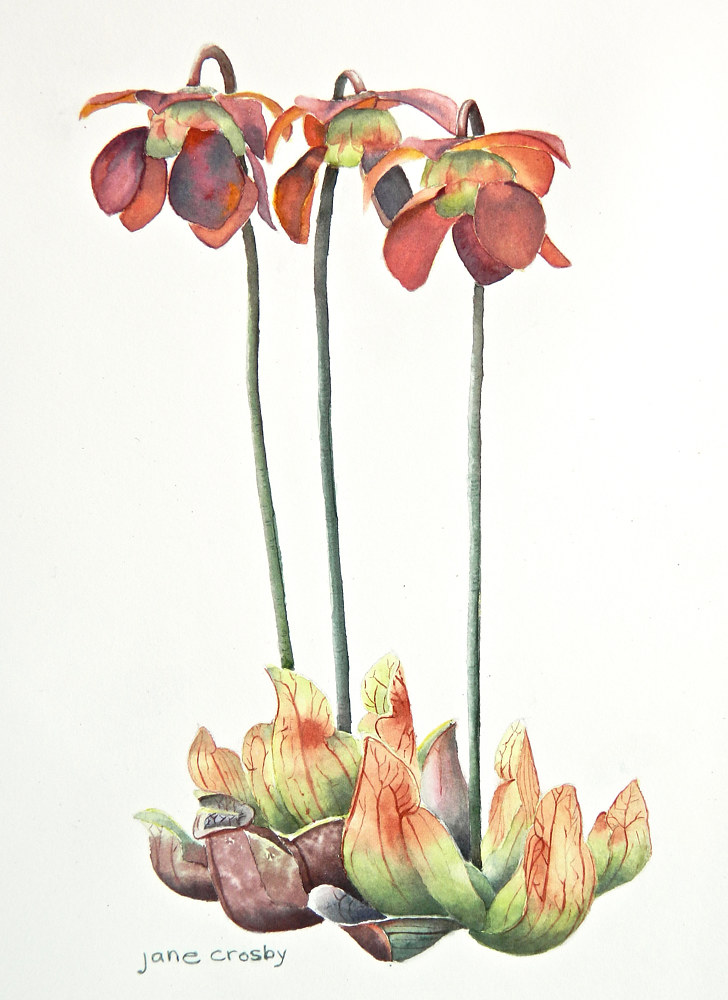 Watercolor Pitcher Plant, Newfoundland and Labrador by Jane Crosby