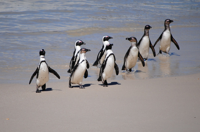 Print Janice. Rhodes, S. African Penguins by George Servais