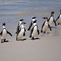 Print Janice. Rhodes, S. African Penguins by David Eater