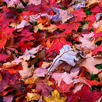 red leaf carpet by Lisa Kane
