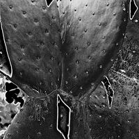 """Prickly Pear Cactus With Inverted  Shadows"" by Hunter Madsen"