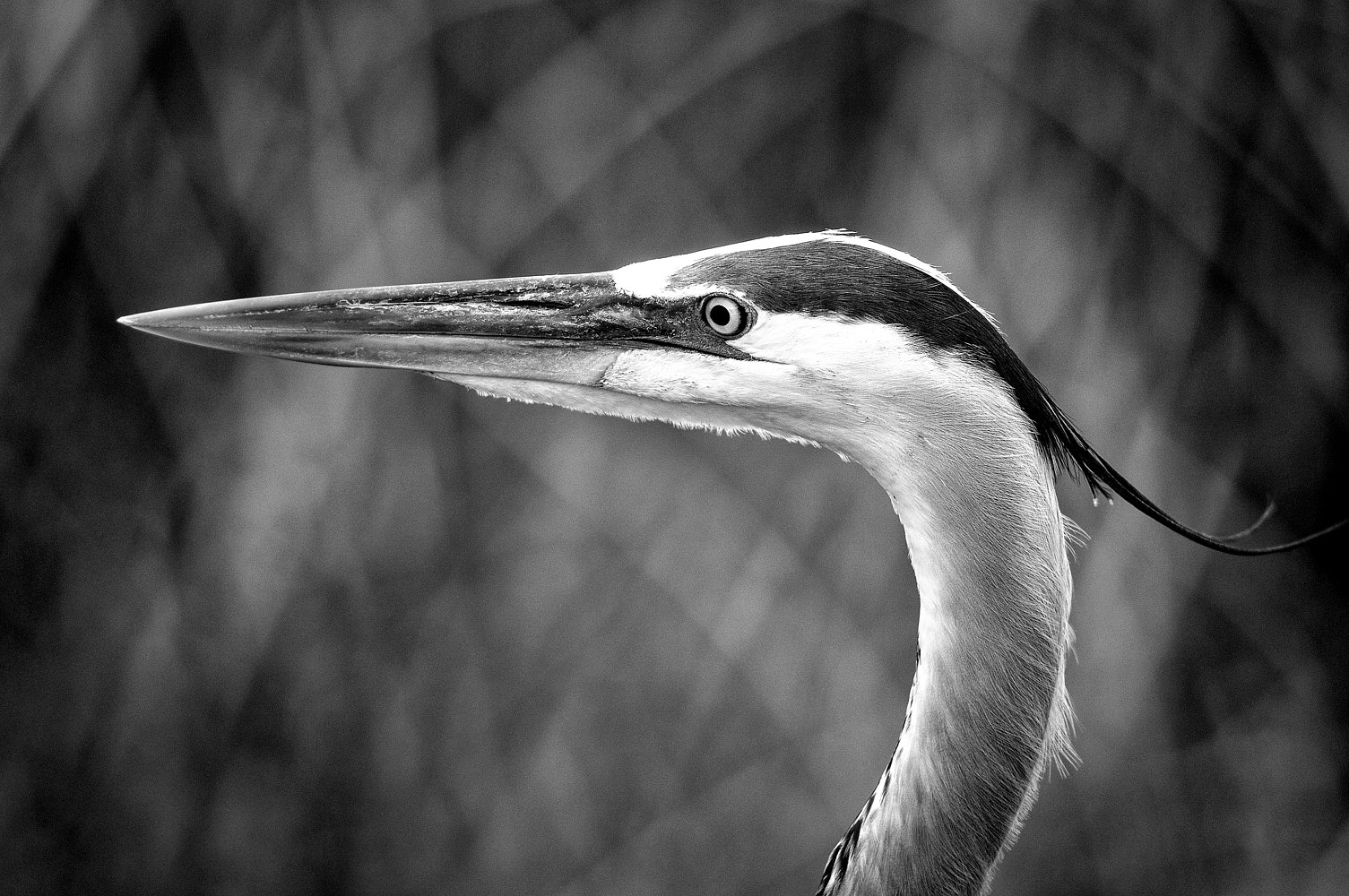 WL03_4779B_VieraWetland_Great Blue Heron by Gary Jones