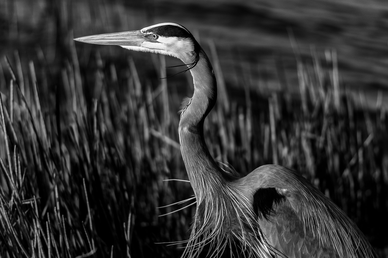 WL41_2188B_VeraWetland_FloridaGreat Blue Heron_Reeds-Water by Gary Jones