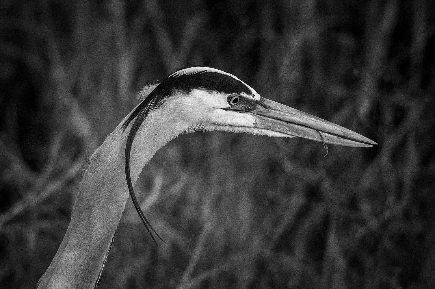 Wl42_24226B_VieraWetland_Florida_Great Blue Heron by Gary Jones