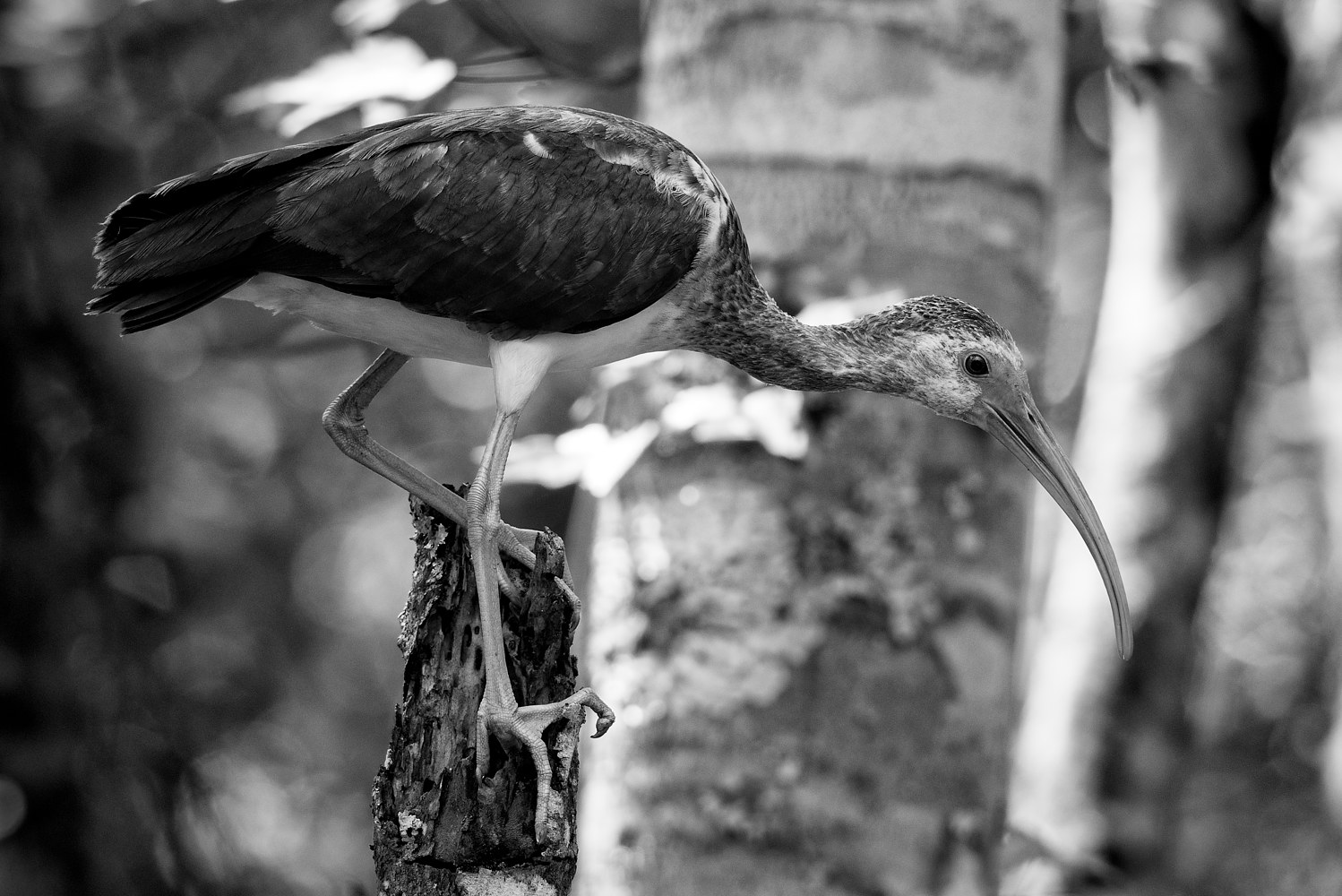 Ibis - Crew Preserve (WL46_0752BW) by Gary Jones
