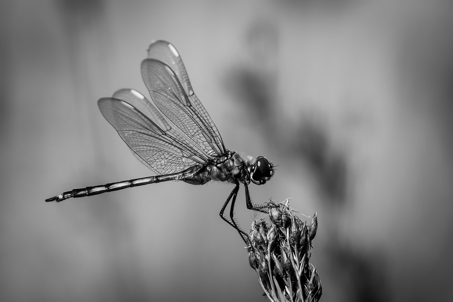 Dragon Fly - OrlandoWetland (WL49_0894BW) by Gary Jones