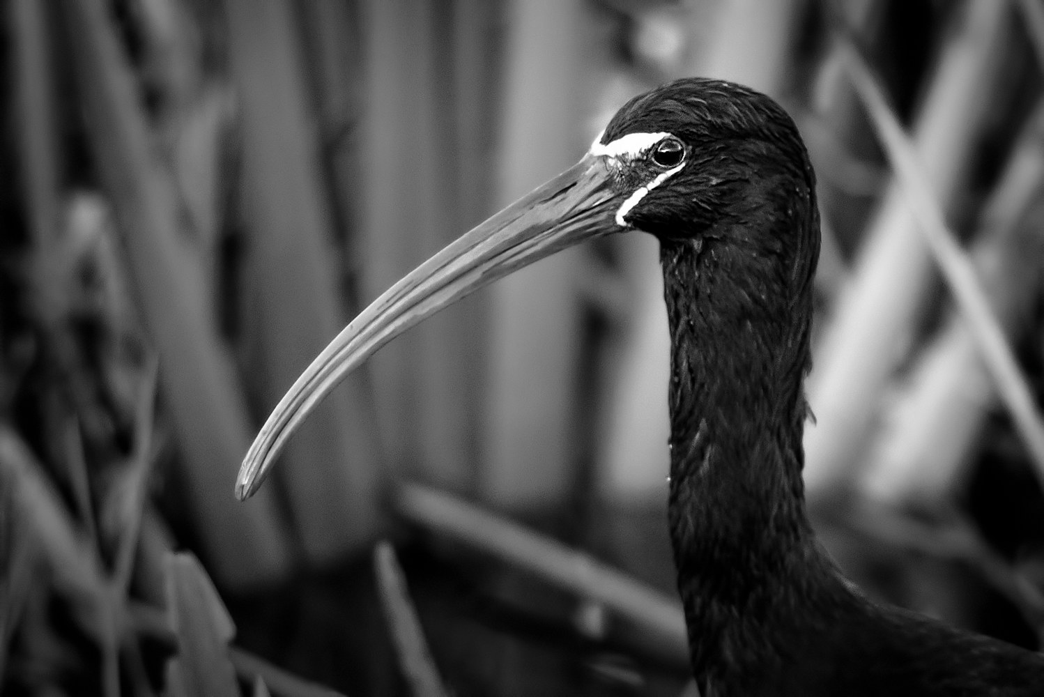 Glossy Ibis - Viera Wetlands (WL50_2735BW)  by Gary Jones