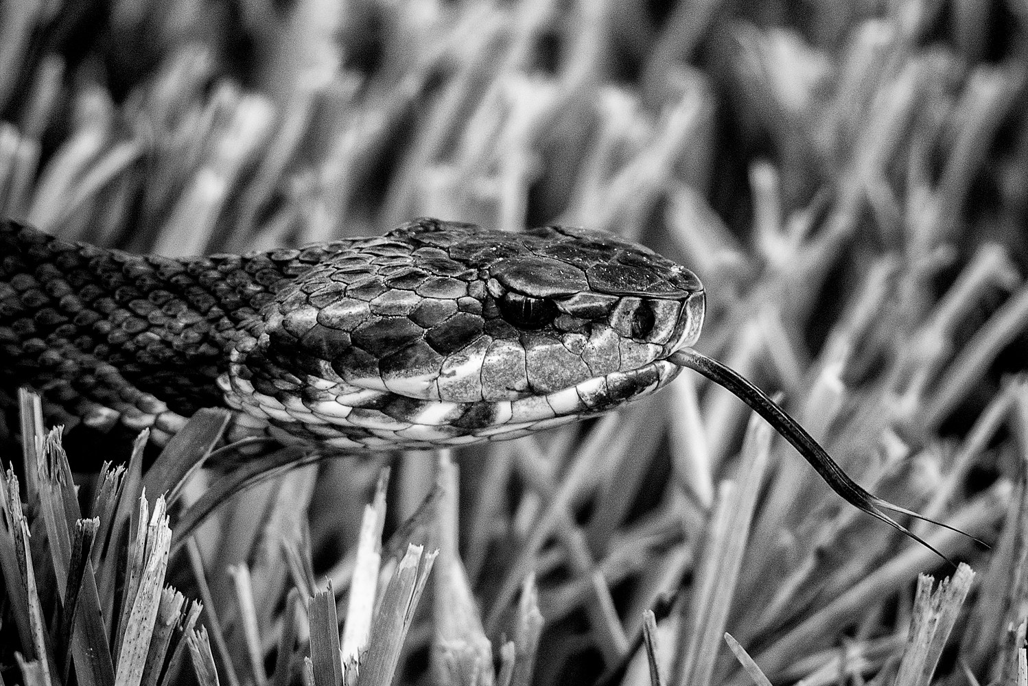Cottonmouth - Viera Wetlands (WL51_3780BW) by Gary Jones