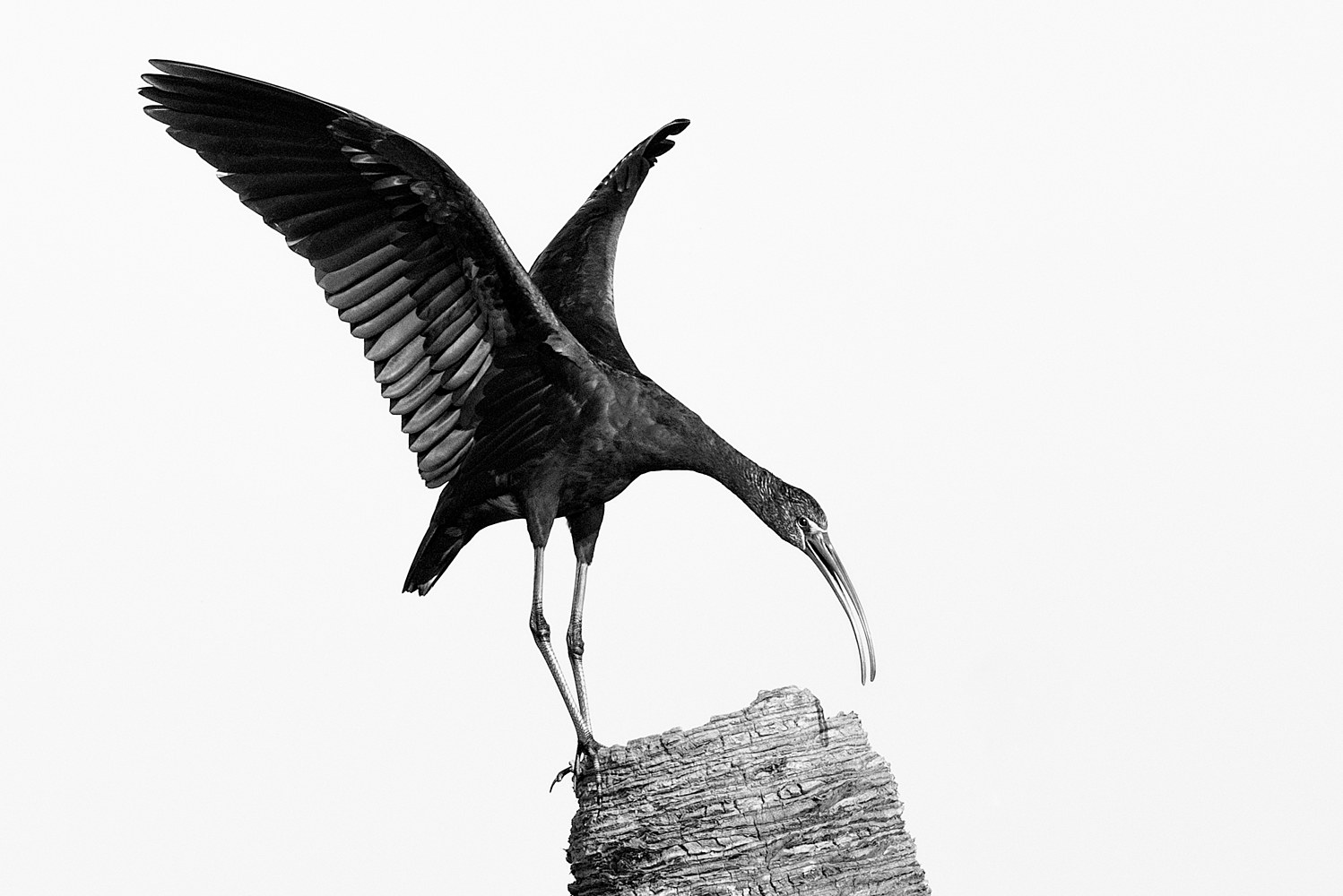 Glossy Ibis - Viera Wetlands (WL53_4712BW) by Gary Jones