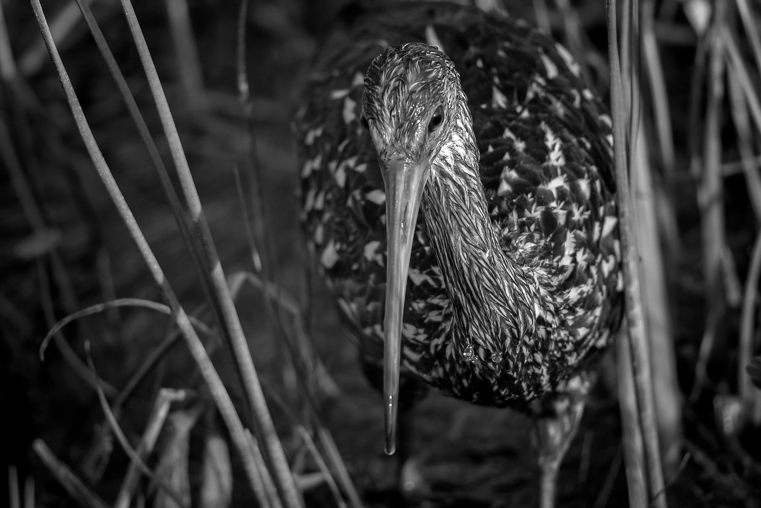 Limpkin - Viera Wetlands (WL53 4808BW) by Gary Jones