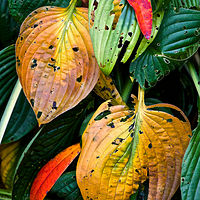"""October Hostas"" by Hunter Madsen"